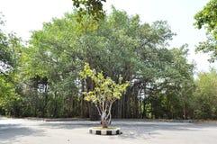 Litet träd för stort träd Arkivfoto
