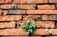 Litet träd för växt på den gamla tegelstenväggen Royaltyfri Bild