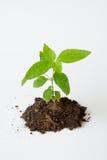 Litet träd med att växa för jord Royaltyfri Fotografi