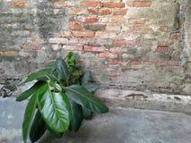 Litet träd nära den gamla väggen i den gamla staden, Songkhla, Thailand Royaltyfri Fotografi