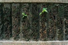 Litet träd som spirar till och med väggen Royaltyfri Fotografi