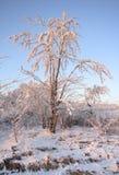 Litet träd som täckas av rimfrost på varmt solljus Arkivfoto