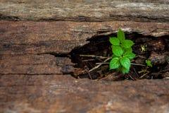 Litet träd som växer ut ur den wood stubben för nytt liv Arkivbilder