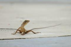 Litet trädgårds- staket Lizard Royaltyfria Bilder