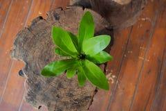 litet treeträ Royaltyfria Bilder