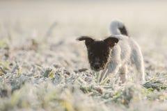 Litet tricolor djurt barn i rimfrost på en vit äng arkivbilder