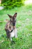 litet västra för gråa kängurur Royaltyfri Foto
