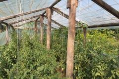 Litet växthus med tomatväxter Arkivfoto