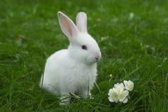 Litet vitt kaninsammanträde i grönt gräs Royaltyfri Bild