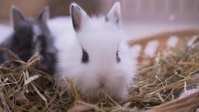 Litet vitt kaninsammanträde in i korgen Påskberömmen arkivfilmer