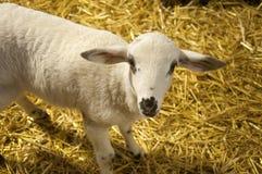 Litet vitt lamm på höbakgrunden royaltyfri foto
