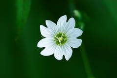 litet vitt wild för blomma en Fotografering för Bildbyråer
