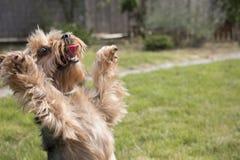 Litet yorkshire hundanseende på bakre ben på gräs Royaltyfria Foton