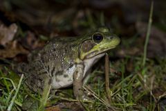 Lithobates catesbeianus. Bull frog during the vernal migration to the breeding pond stock images