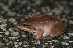 Lithobates sylvaticus. Wood frog during the vernal migration to the breeding pond stock photos