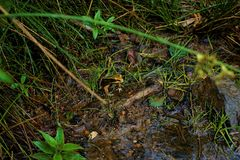 Lithobates vibicarius sitting in Juan Castro Blanco National Park. Costa Rica royalty free stock photography