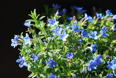 Lithodora Royalty Free Stock Images