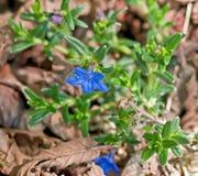 一朵蓝色Lithodora花的宏指令-印地安油漆厂 免版税库存照片