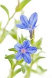 Lithodora diffusa flower on white Royalty Free Stock Photos