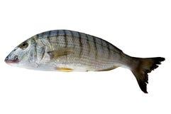 Lithognathus mormyruson ryba odizolowywająca. Zdjęcie Stock