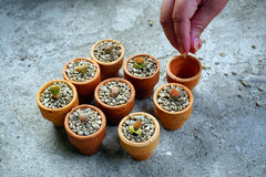 Lithop кактуса в баках Стоковое Фото