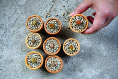 Lithop кактуса в баках Стоковое Изображение