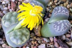 Lithops blom Arkivbilder