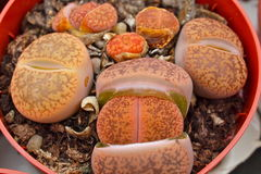Lithops Button-hole succulents. Tine button-hole succulents with various shapes and colours Stock Image