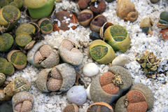 Lithops Stock Photos