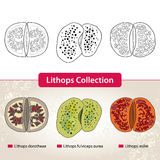 Lithops Collection #2. Series of different succulent plants Royalty Free Stock Images
