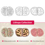 Lithops Collection #3. Series of different succulent plants Royalty Free Stock Photo