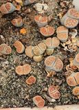Lithops Royalty Free Stock Photos