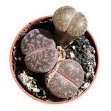 Lithops or living stones isolated on white. Succulent plants Lithops (Lithops aucampiae) or living stones isolated on white royalty free stock photography
