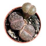 Lithops o pietre viventi isolate su bianco Fotografia Stock Libera da Diritti