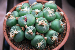 Lithops with pink flower Stock Photo
