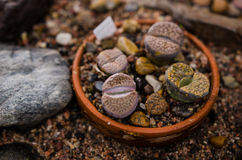 Lithops plants in a pot Royalty Free Stock Photos