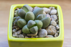 Lithops in a pot Royalty Free Stock Photos