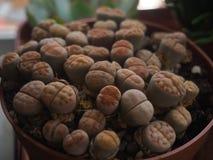 Lithops-pseudotruncatella (Bgr ) N e Wachsender Pflanzer B Stockbild