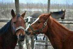 Lithuania rural scene . Horses . royalty free stock photos