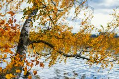 Lithuania, Trakai 2017. 10. 19 Galve lake, beautiful autumn day, autumn colors, autimn tree with green and yellow leafs. Stock Images