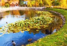 Lithuania, Vilnius Belmontas, 2017. 10. 19 small pond with ducks and one beautiful black goose, beautiful autumn day in the Belmon royalty free stock image