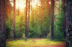 Lithuanian forest. A Lithuanian forest in the autumn Stock Photo