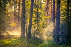 Lithuanian forest at sunrise stock photography