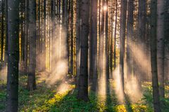 Lithuanian forest at sunrise stock images