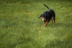 Lithuanian Hound Dog on the Grass. Royalty Free Stock Photography