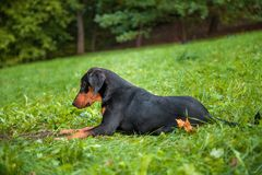 Lithuanian Hound Dog Lying on the grass. Stock Photography