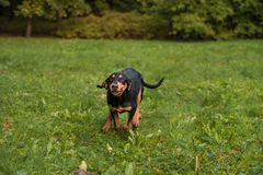 Lithuanian Hound Dog Running on the grass. Stock Photography