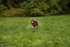 Lithuanian Hound Dog Running on the grass. Stock Images