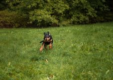 Lithuanian Hound Dog Running on the grass. Royalty Free Stock Photography