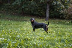 Lithuanian Hound Dog Standing on the grass. Stock Photography